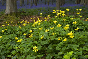 Lesser Celandine (Ranunculus ficaria) in deciduous woodland clearing with bluebells and stand of beech trees in background, North Somerset, UK  -  Michael Hutchinson
