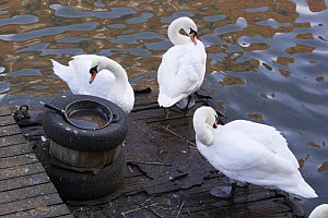 Mute Swans (Cygnus olor) preening on old wooden pontoon, Bristol, UK  -  Michael Hutchinson