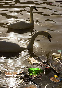 Mute swans (Cygnus olor) backlit next to floating litter in river Avon, Bristol, UK - Michael Hutchinson