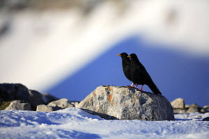 Alpine chough (Pyrrhocorax graculus) on snow, Picos de Europa, Cantabria, Spain  -  Jose B. Ruiz
