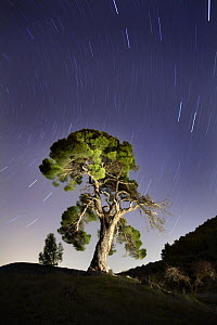 Aleppo pine tree {Pinus halepensis} photographed with long exposure at night with star trails behind, Torremanzana, Alicante, Spain - Jose B. Ruiz
