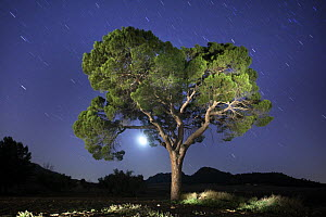 Italian stone pine tree {Pinus pinea} photographed with long exposure at night with moon and star trails behind, Villena, Alicante, Spain  -  Jose B. Ruiz