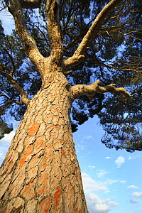 Looking up the trunk of an Italian pine stone tree (Pinus pinea) Alicante, Spain - Jose B. Ruiz