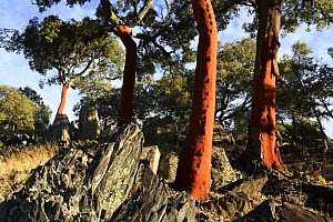 Red trunks of Cork Oak trees which have been stripped of bark(Quercus suber) Las Hurdes, Caceres, Spain  -  Jose B. Ruiz