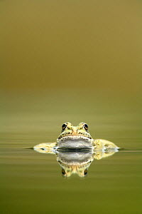 Marsh frog (Rana ridibunda perezii) in water, Spain  -  Jose B. Ruiz