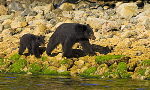 Black bear (Ursus americanus) mother and cub walking at waters edge. Clayoquot Sound Vancouver Island, Canada - Matthew Maran
