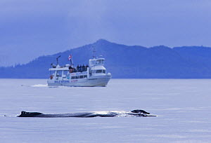 Humpback whale (Megaptera novaeangliae) and whale watching boat in Clayoquot Sound, Vancouver Island, Canada  -  Matthew Maran