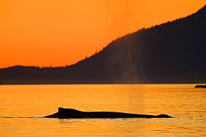 Humpback whale (Megaptera novaeangliae) blowing at dusk. Barkley Sound, Vancouver Island, Canada - Matthew Maran