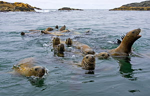 Steller's Sealions (Eumetopias jubata) at ^sea lion rocks^ in Clayoquot Sound, Vancouver Island, Canada - Matthew Maran