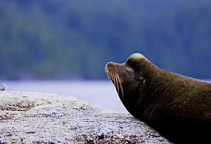 Californian sealion (Zalophus californianus) portrait, showing distinctive bump on the head of males. The bump appears after 5 years and the crest gets lighter with age. Clayoquot Sound, Vancouver Isl...  -  Matthew Maran