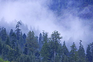 Mist over temperate rainforest with Western red cedar (Thuja plicata) and Western Hemlock (Tsuga mertensiana) trees in Warn Bay. Vancouver Island, Canada  -  Matthew Maran