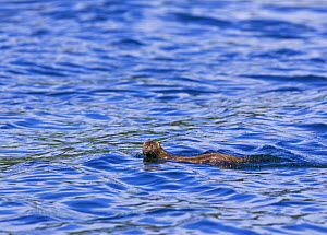 American mink (Mustela vison) swimming in Clayoquot Sound, Vancouver Island, Canada  -  Matthew Maran