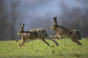 Two European hares (Lepus europaeus) running in spring, Stuttgart, Germany  -  Dietmar Nill