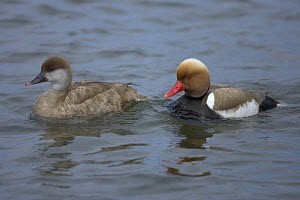 Red-crested Pochard (Netta rufina) pair on water, Bavaria, Germany  -  Dietmar Nill