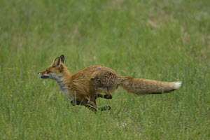 Red Fox (Vulpes vulpes) running through grass, Latvia  -  Dietmar Nill