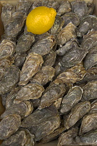 Oysters laid out with lemon, Champagne, France  -  Dietmar Nill