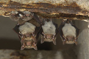Greater mouse-eared bat (Myotis myotis) and Natterer's Bat (Myotis nattereri) roosting in winter, Germany - Dietmar Nill