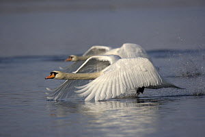 Two Mute swans (Cygnus olor) taking off from water, Germany  -  Dietmar Nill