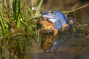 Moor frogs (Rana arvalis) mating in a pond, Germany (the male is blue)  -  Dietmar Nill