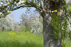 Dandelion growing on the trunk of an old blossoming apple tree in orchard Baden-Wuerttemberg, Germany  -  Dietmar Nill