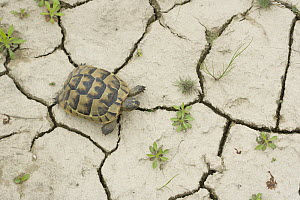 Spur-thighed tortoise (Testudo graeca) from above, on dry, cracked ground. Bulgaria  -  Dietmar Nill