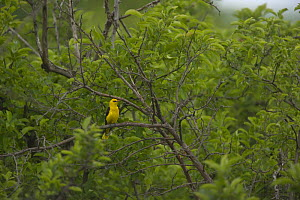 Golden oriole (Oriolus oriolus) male perched in trees, Bulgaria  -  Dietmar Nill