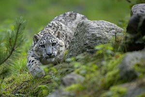 Captive Snow leopard (Panthera uncia) stalking, partly camouflaged by rocks in Heidezoo, L�neburg, Germany - Dietmar Nill