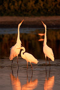 Great egrets (Ardea alba) in lake, Hungary. - Bence  Mate