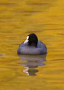 Coot (Fulica atra) swimming on water reflecting autumn colours, Gloucestershire, England  -  David Kjaer