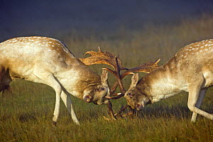 Fallow Deer (Dama dama) bucks or males fighting  during autumn 'rut' in Richmond Park, London, England  -  David Kjaer