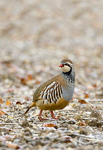 Red-legged Partridge (Alectoris rufa) Wiltshire, England  -  David Kjaer