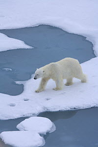 Lone polar bear (Ursus maritimus) walking on ice in the Arctic Ocean, July  -  Sue Flood