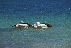 Two Australian Pelicans {Pellicanus conspicillatus} on water, Nelson Bay, NSW, Australia  -  Brent Hedges