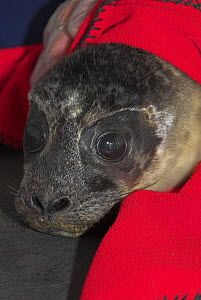 Common Seal (Phoca vitulina) orphan wrapped in a blanket after being rescued. UK - Colin Seddon