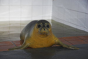Common Seal (Phoca vitulina) after being rescued. UK - Colin Seddon
