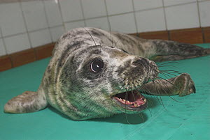 Common Seal (Phoca vitulina) orphan pup snarling after being rescued. UK - Colin Seddon