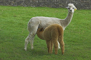 Alpaca (Lama pacos) cria suckling from its shorn mother in a field. UK  -  Colin Seddon