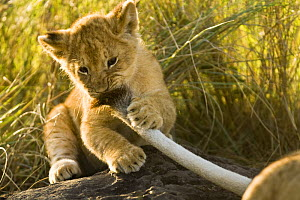 African lion {Panthera leo} young cub, two months old, playing with mother's tail, Masai Mara GR, Kenya - Anup Shah