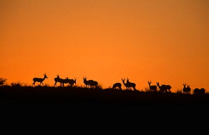 Springboks (Antidorcas marsupialis) on dune at sunrise, Kalahari Gemsbok NP, South Africa - Francois Savigny