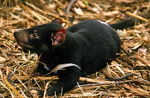 Tasmanian Devil (Sarcophilus harrissii) orphaned baby at play amongst straw, Bonorong Wildlife Park, Tasmania, Australia  -  Steven David Miller