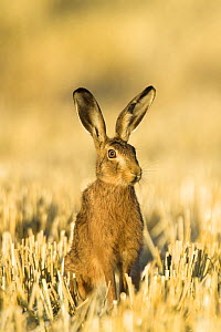 Brown hare (Lepus europaeus) in wheat stubble, Norfolk, UK, August.  -  Gary K. Smith