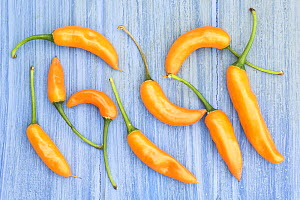 Yellow chilli peppers / chillies (Capsicum annum acuminatum) freshly harvested on pale blue background - Gary K. Smith