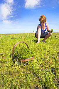 Woman picking Samphire / Glasswort (Salicornia sp.) North Norfolk saltmarshes, England, UK, August  -  Gary K. Smith