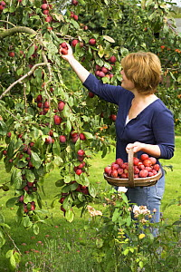 Woman picking ripe Victoria plums (Prunus domestica) in country garden, England, UK, August  -  Gary K. Smith