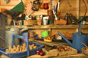 Potatoes (Solanum tuberosum) and onions (Allium cepa) in garden potting shed with associated gardening implements, England, UK  -  Gary K. Smith