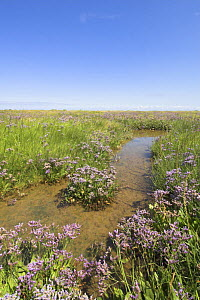 Sea Lavender (Limonium vulgare) in full flower on Norfolk Saltmarsh, England, UK, August - Gary K. Smith