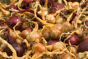 Home grown shallots (Allium oschaninii) and red onions (Allium cepa) drying outside late summer, England, UK, August  -  Gary K. Smith