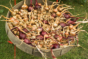 Home grown shallots (Allium oschaninii) and red onions (Allium cepa) drying outside in a sieve, England, UK, August  -  Gary K. Smith