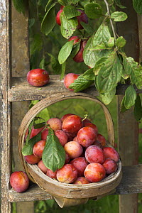 Victoria plums (Prunus domestica) freshly picked in a trug in a country garden, England, UK, August  -  Gary K. Smith