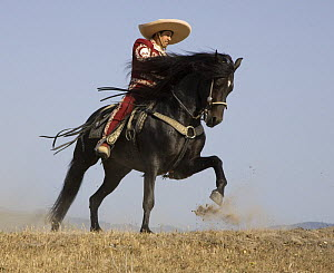 Charro on a Black Andalusian stallion galloping in Ojai, California, USA, model released  -  Carol Walker